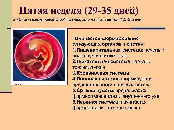 Пятая неделя (29 -35 дней) Эмбрион весит около 0. 4 грамм, длина составляет 1.