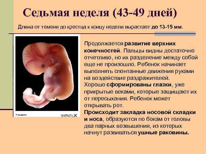 Седьмая неделя (43 -49 дней) Длина от темени до крестца к концу недели вырастает