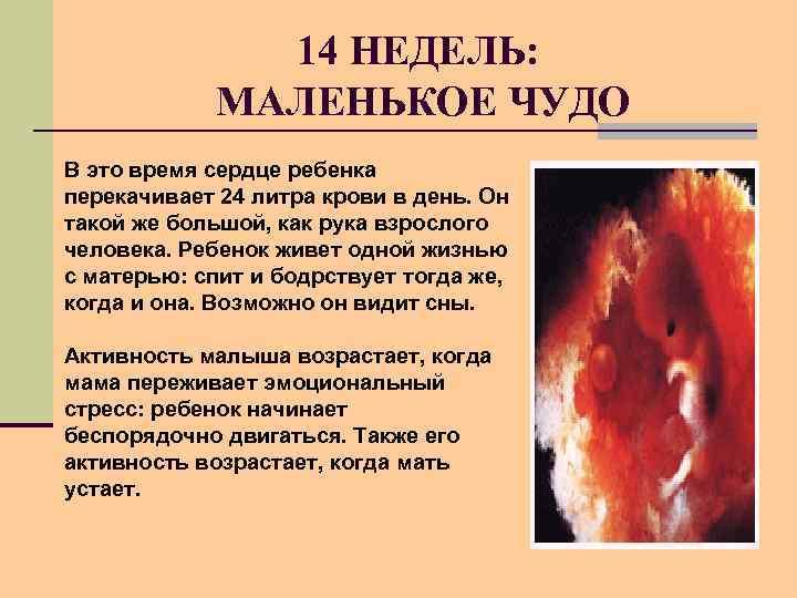 14 НЕДЕЛЬ: МАЛЕНЬКОЕ ЧУДО В это время сердце ребенка перекачивает 24 литра крови в