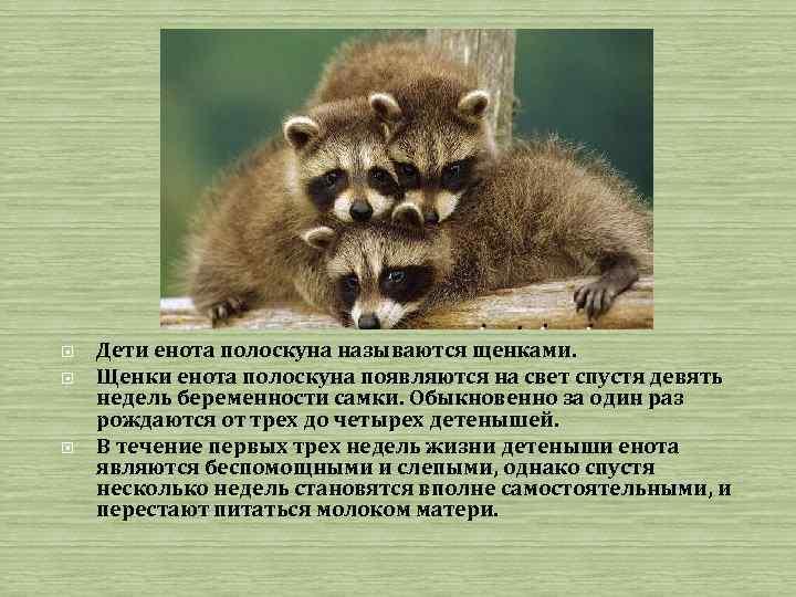 Дети енота полоскуна называются щенками. Щенки енота полоскуна появляются на свет спустя девять