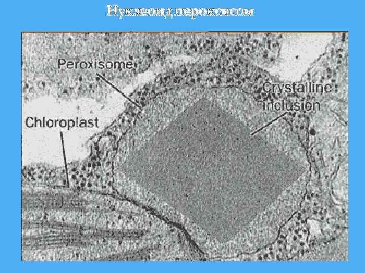 Нуклеоид пероксисом