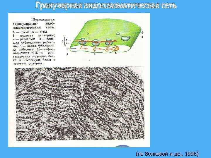 Гранулярная эндоплазматическая сеть (по Волковой и др. , 1996)