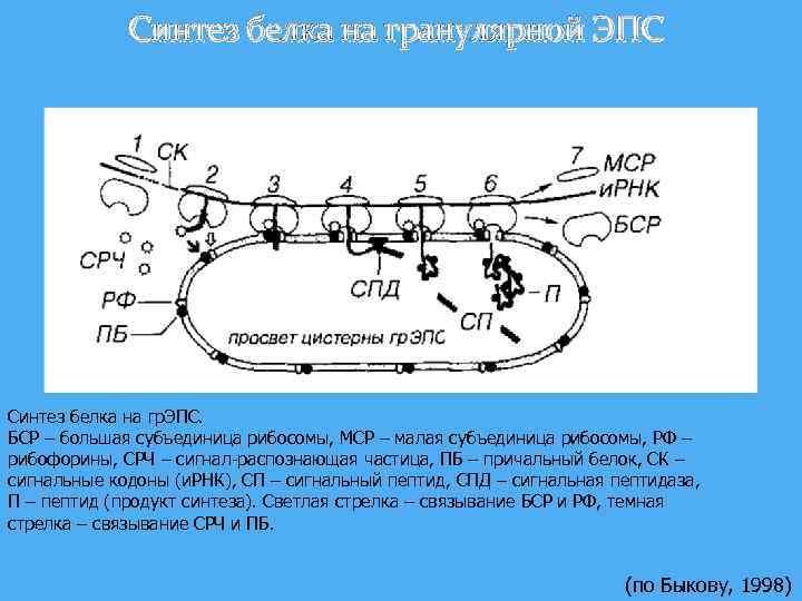 Синтез белка на гранулярной ЭПС Синтез белка на гр. ЭПС. БСР – большая субъединица