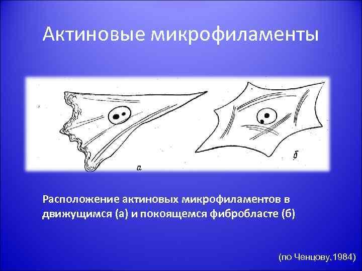 Актиновые микрофиламенты Расположение актиновых микрофиламентов в движущимся (а) и покоящемся фибробласте (б) (по Ченцову,