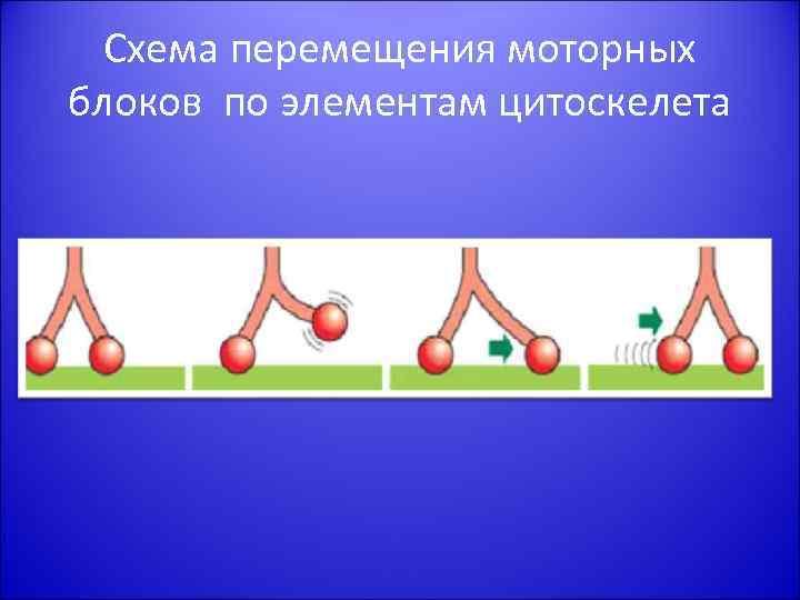 Схема перемещения моторных блоков по элементам цитоскелета