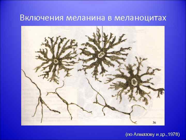 Включения меланина в меланоцитах (по Алмазову и др. , 1978)
