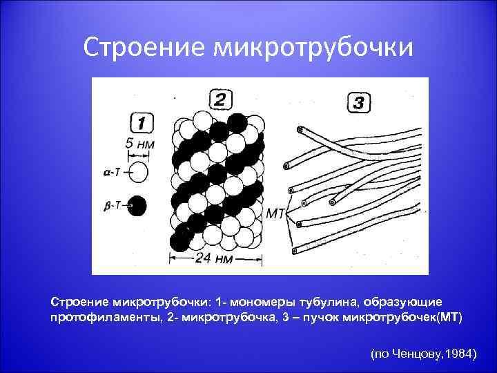 Строение микротрубочки: 1 - мономеры тубулина, образующие протофиламенты, 2 - микротрубочка, 3 – пучок