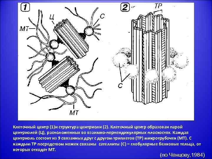 Клеточный центр (1)и структура центриоли (2). Клеточный центр образован парой центриолей (Ц), расположенных во