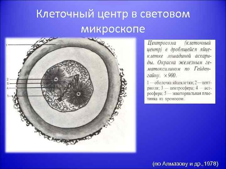 Клеточный центр в световом микроскопе (по Алмазову и др. , 1978)