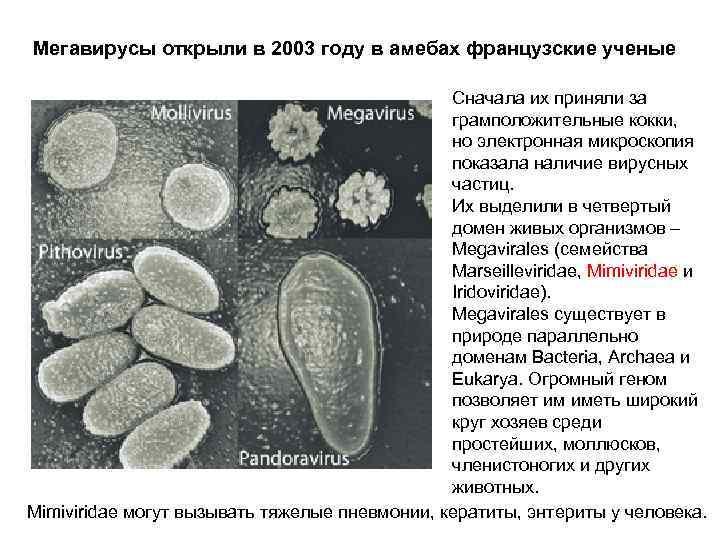 Мегавирусы открыли в 2003 году в амебах французские ученые Сначала их приняли за грамположительные
