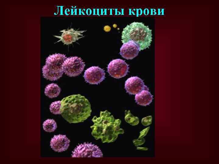 Лейкоциты крови