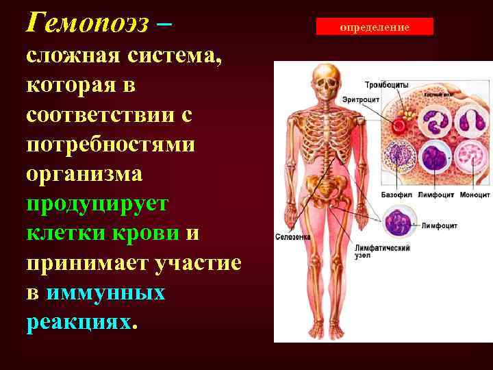 Гемопоэз – сложная система, которая в соответствии с потребностями организма продуцирует клетки крови и