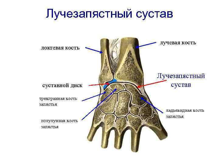 Лучезапястный сустав картинка