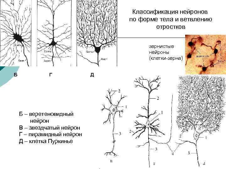 Классификация нейронов по форме тела и ветвлению отростков зернистые нейроны (клетки-зерна) Б Г Б