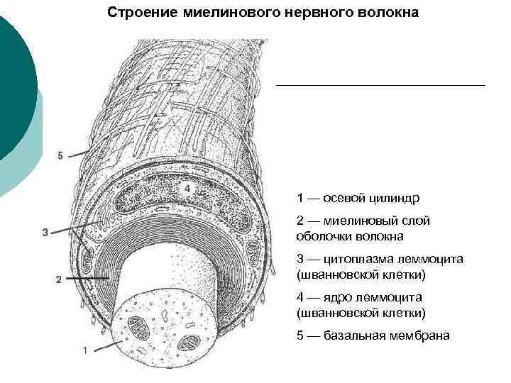 Строение миелинового нервного волокна 1 — осевой цилиндр 2 — миелиновый слой оболочки волокна