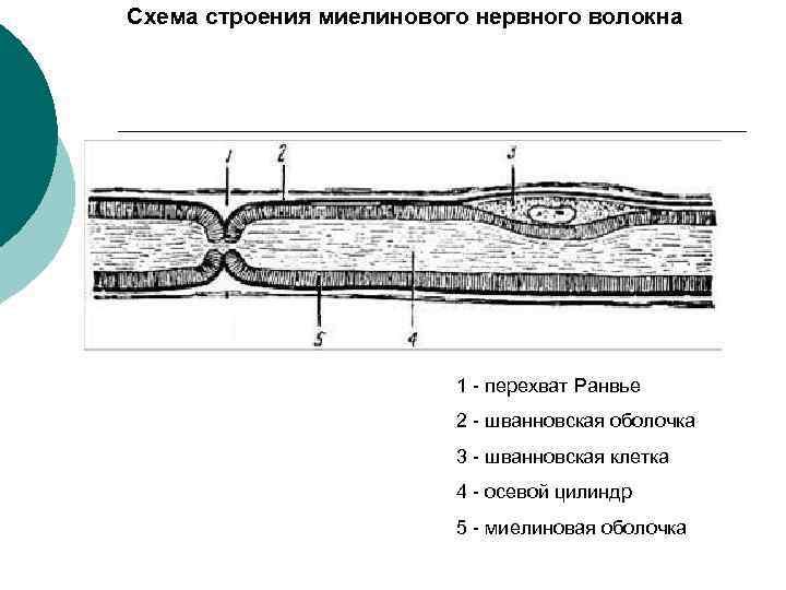 Схема строения миелинового нервного волокна 1 - перехват Ранвье 2 - шванновская оболочка 3