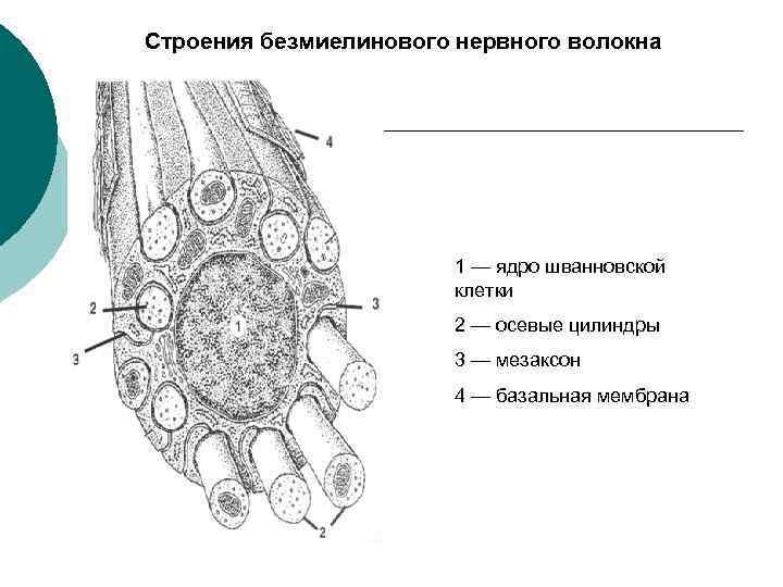 Строения безмиелинового нервного волокна 1 — ядро шванновской клетки 2 — осевые цилиндры 3