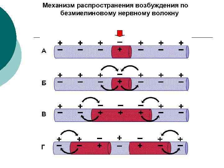 Механизм распространения возбуждения по безмиелиновому нервному волокну
