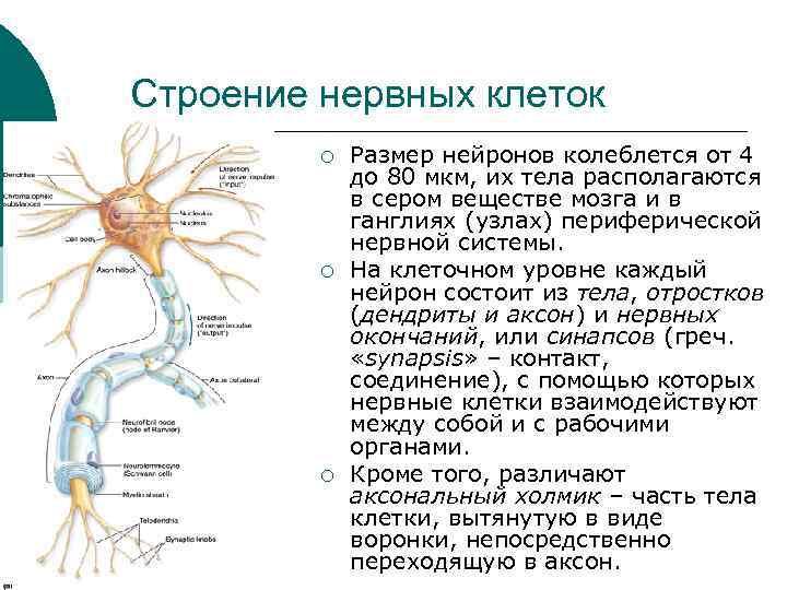 Строение нервных клеток ¡ ¡ ¡ Размер нейронов колеблется от 4 до 80 мкм,