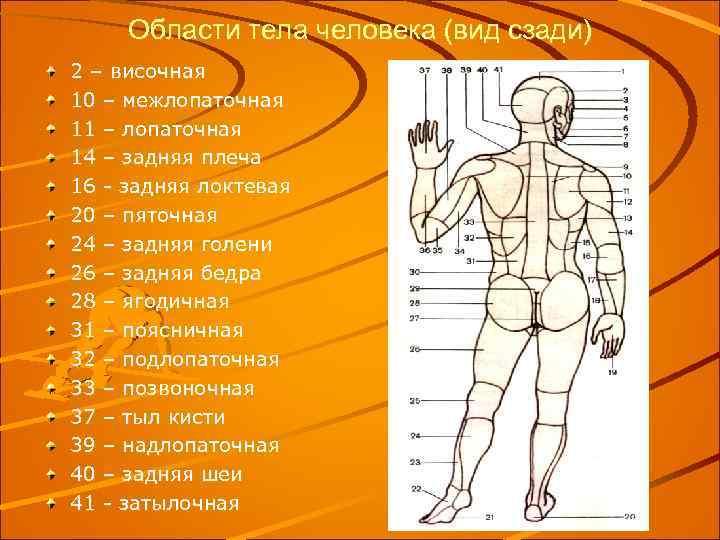 Области тела человека (вид сзади) 2 – височная 10 – межлопаточная 11 – лопаточная