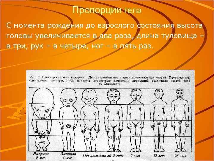 Пропорции тела С момента рождения до взрослого состояния высота головы увеличивается в два раза,
