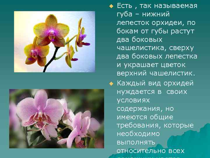 u u Есть , так называемая губа – нижний лепесток орхидеи, по бокам от