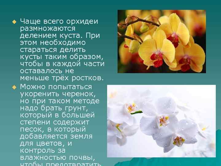 u u Чаще всего орхидеи размножаются делением куста. При этом необходимо стараться делить кусты