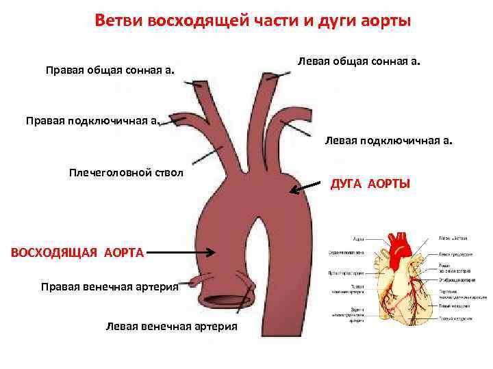 Строение аорты человека картинки