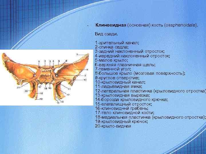• Клиновидная (основная) кость (ossphenoidale). Вид сзади. 1 -зрительный канал; 2 -спинка седла;