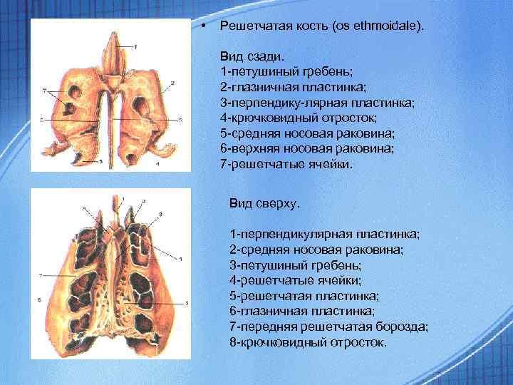 • Решетчатая кость (os ethmoidale). Вид сзади. 1 -петушиный гребень; 2 -глазничная пластинка;