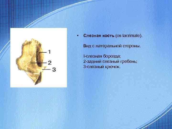 • Слезная кость (os lacrimale). Вид с латеральной стороны. I-слезная борозда; 2 -задний