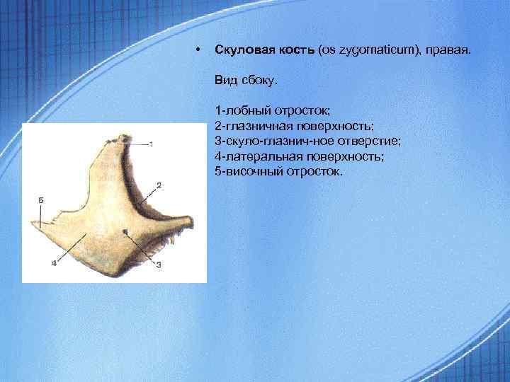 • Скуловая кость (os zygomaticum), правая. Вид сбоку. 1 -лобный отросток; 2 -глазничная