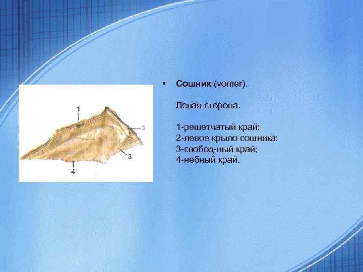 • Сошник (vomer). Левая сторона. 1 -решетчатый край; 2 -левое крыло сошника; 3