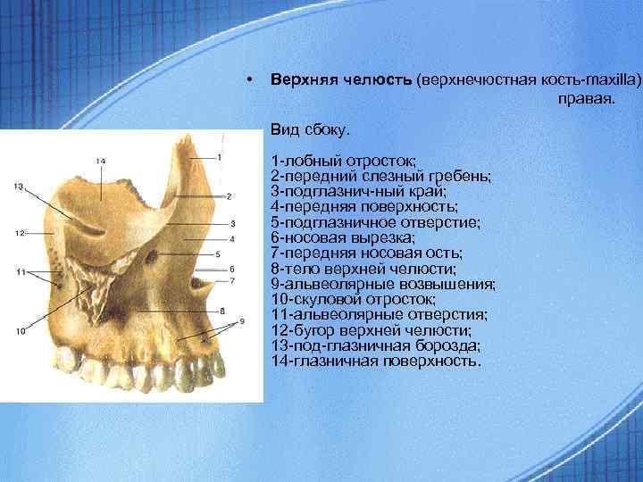 • Верхняя челюсть (верхнечюстная кость-maxilla) правая. Вид сбоку. 1 -лобный отросток; 2 -передний