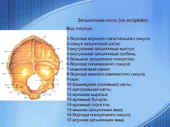 Затылочная кость (os occipitale). Вид спереди. 1 -борозда верхнего сагиттального синуса; 2 -чешуя затылочной