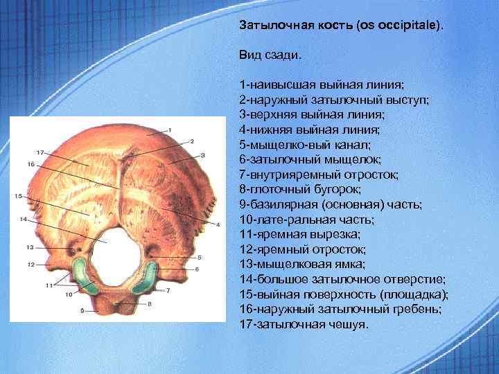 Затылочная кость (os occipitale). Вид сзади. 1 -наивысшая выйная линия; 2 -наружный затылочный выступ;