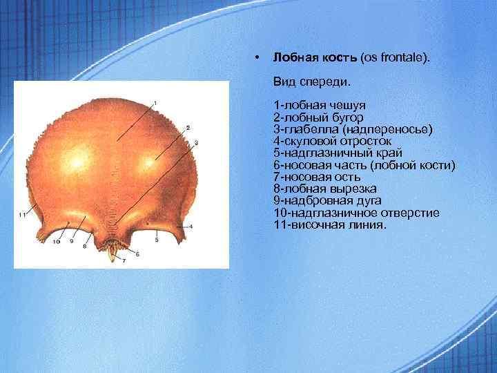• Лобная кость (os frontale). Вид спереди. 1 -лобная чешуя 2 -лобный бугор
