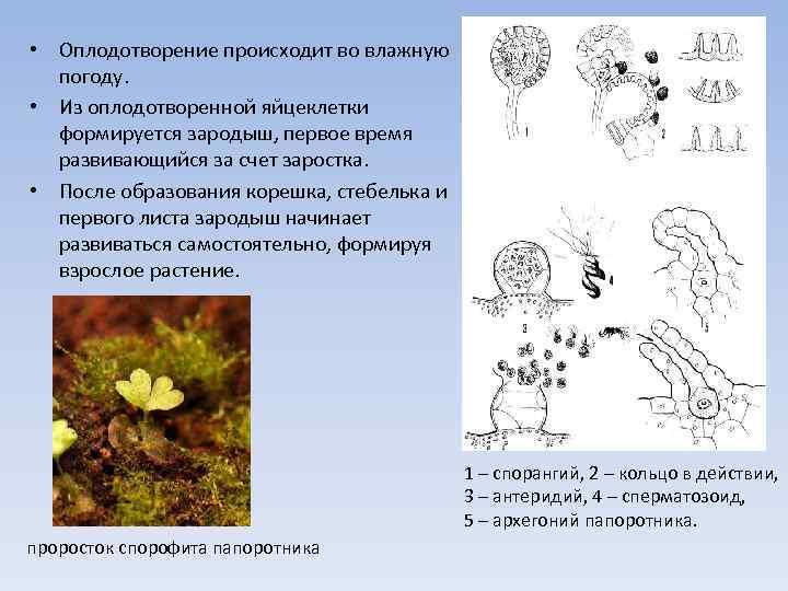• Оплодотворение происходит во влажную погоду. • Из оплодотворенной яйцеклетки формируется зародыш, первое
