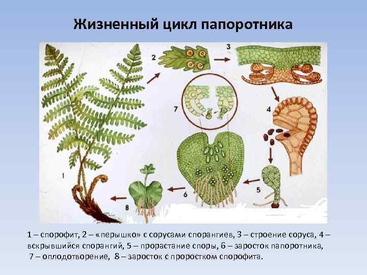 Жизненный цикл папоротника 1 – спорофит, 2 – «перышко» с сорусами спорангиев, 3 –