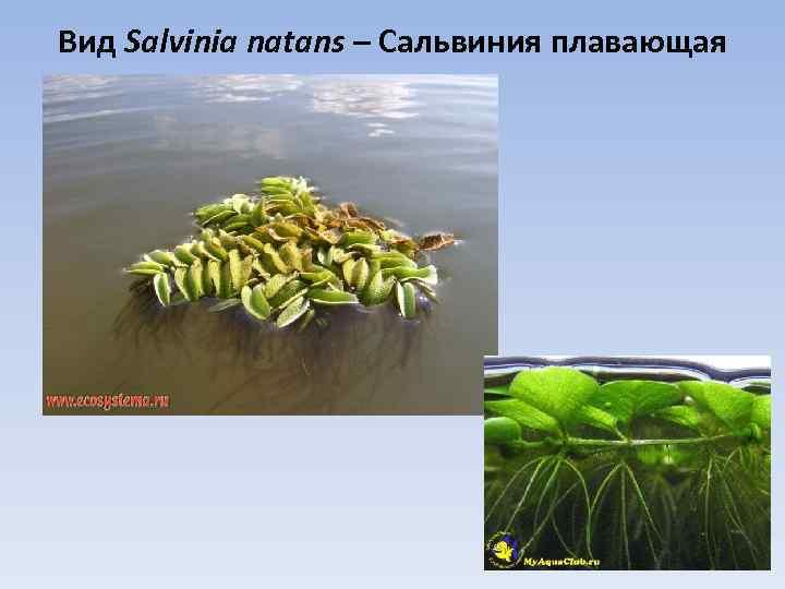 Вид Salvinia natans – Сальвиния плавающая