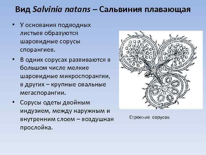 Вид Salvinia natans – Сальвиния плавающая • У основания подводных листьев образуются шаровидные сорусы