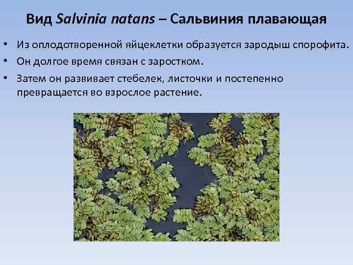 Вид Salvinia natans – Сальвиния плавающая • Из оплодотворенной яйцеклетки образуется зародыш спорофита. •