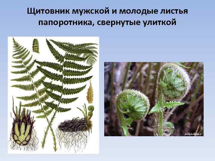 Щитовник мужской и молодые листья папоротника, свернутые улиткой