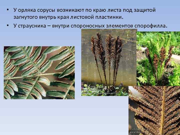 • У орляка сорусы возникают по краю листа под защитой загнутого внутрь края
