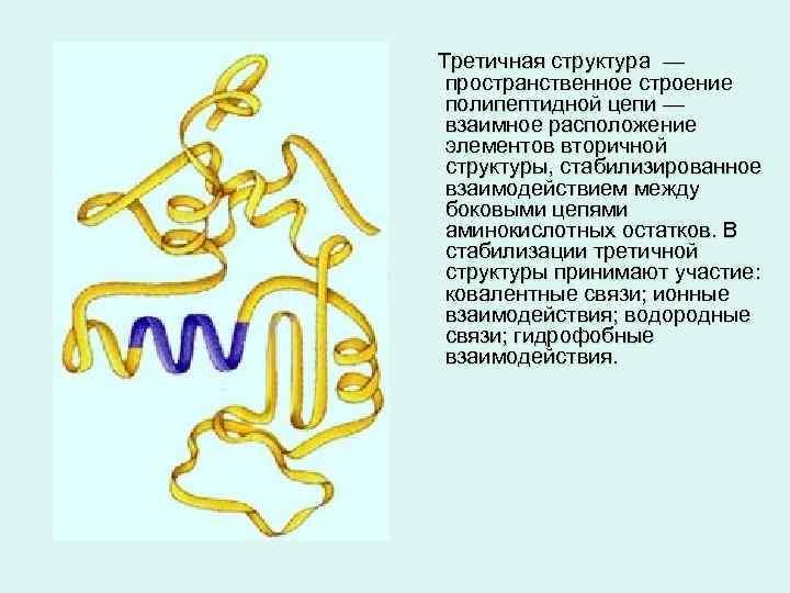 Третичная структура — пространственное строение полипептидной цепи — взаимное расположение элементов вторичной структуры, стабилизированное