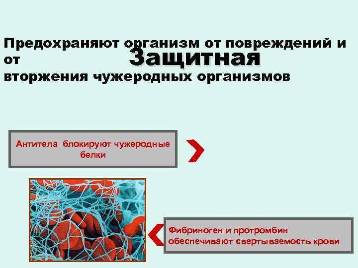 Предохраняют организм от повреждений и от вторжения чужеродных организмов Защитная Антитела блокируют чужеродные белки