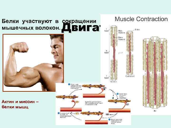 Белки участвуют в сокращении Сократительная мышечных волокон. Двигательная Актин и миозин – белки мышц
