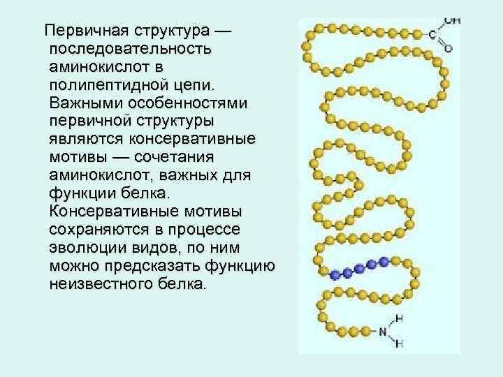 Первичная структура — последовательность аминокислот в полипептидной цепи. Важными особенностями первичной структуры являются консервативные