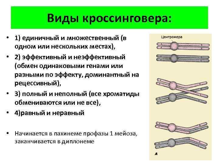 Виды кроссинговера: • 1) единичный и множественный (в одном или нескольких местах), • 2)