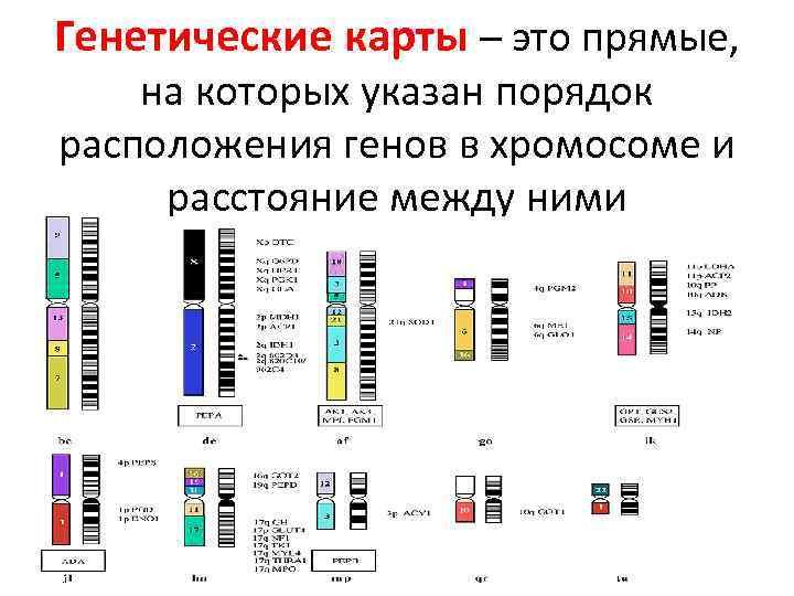 Генетические карты – это прямые, на которых указан порядок расположения генов в хромосоме и